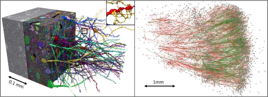 mapa 3D mózgu / Źródło: Google/Lichtman Laboratory